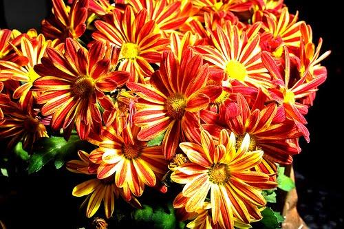 15_chrysantheium_morifolium