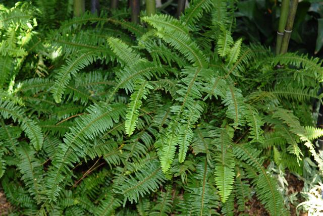 18_kimberly queen_fern_nephrolepis_obliterata
