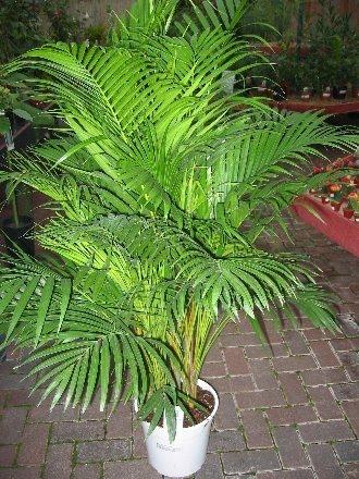 20_areca_palm_chrysalidocarpus_lutescens