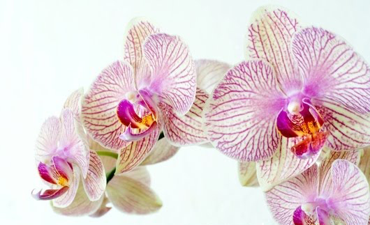 25_1_moth_orchid_phalenopsis_sp