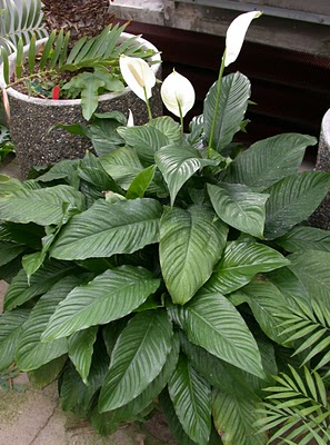 4_peace_lily_spathiphyllum