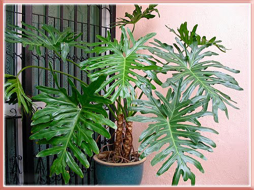 8_1_philodendron
