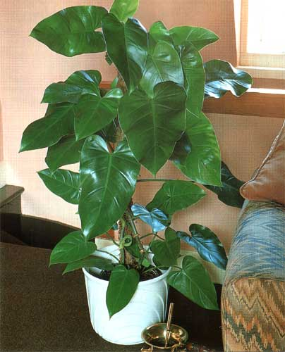 8_2_philodendron