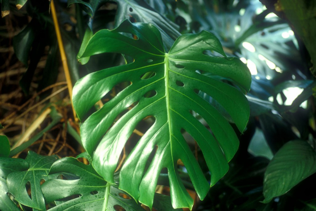 8_3_philodendron