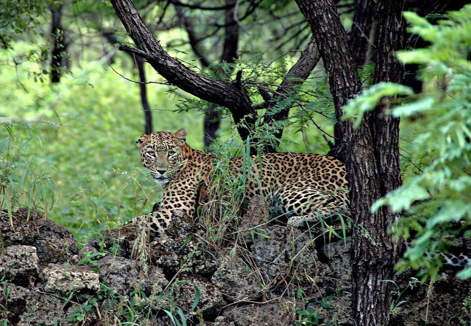 leopard-gir
