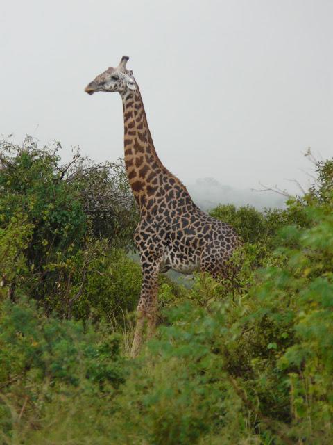 v_kenia_zebrite_hodjat_s_4erveni_pijami3