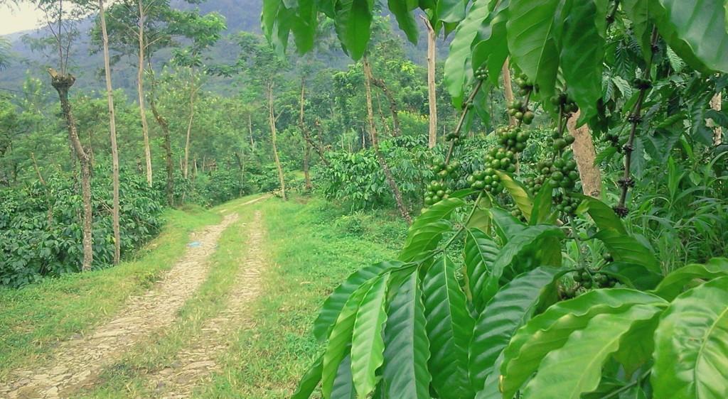 zeleno_kafe_indonesia