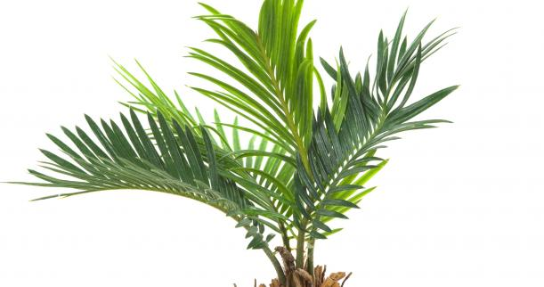 19_dwarf_date_palm_phoenix_roebelenii
