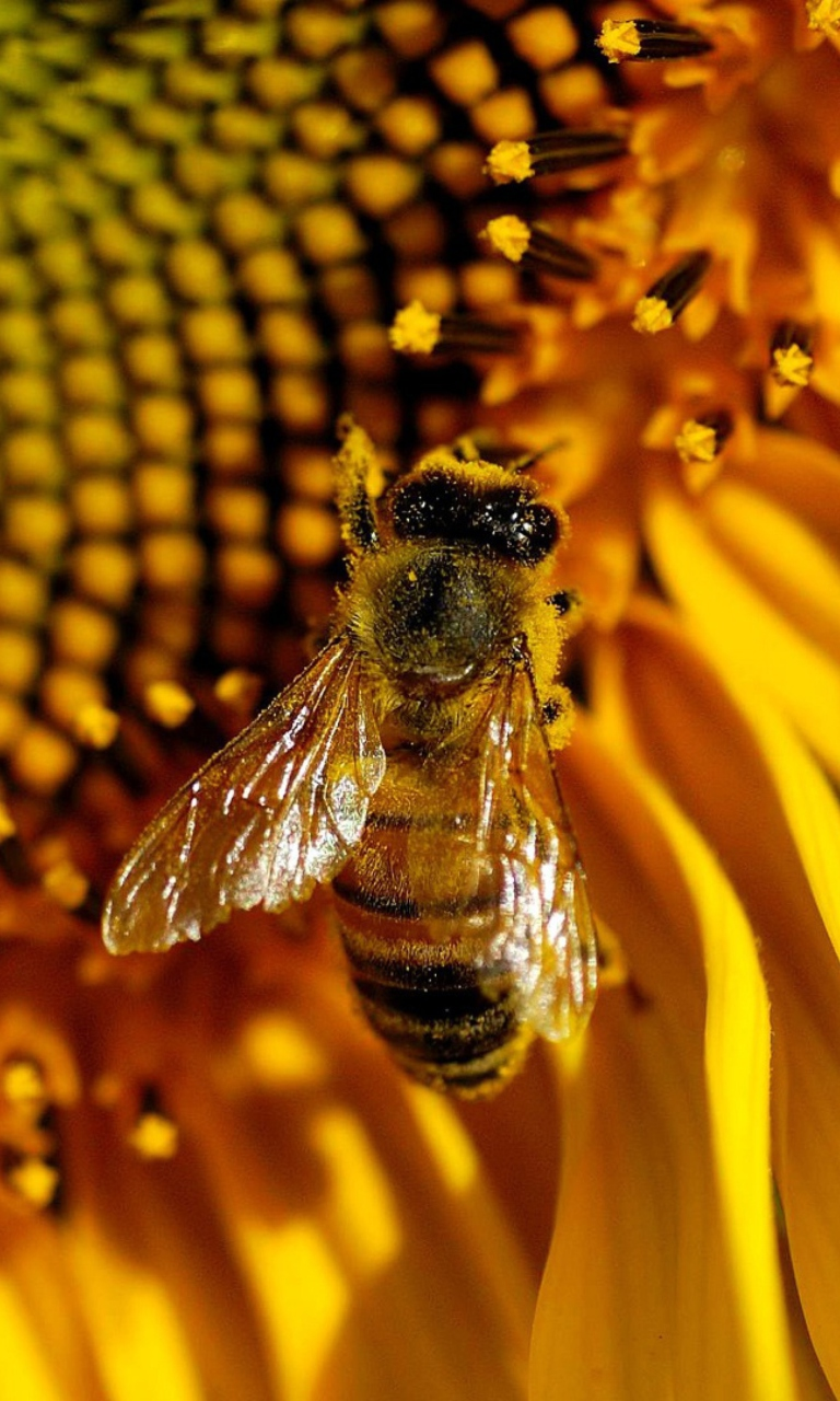 """""""Ако изчезнат пчелите на Земята, на човека му остава да живее не повече от 4 години"""", казва Алберт Айнщайн."""