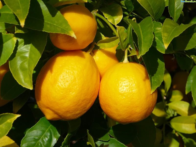 vezni-limon