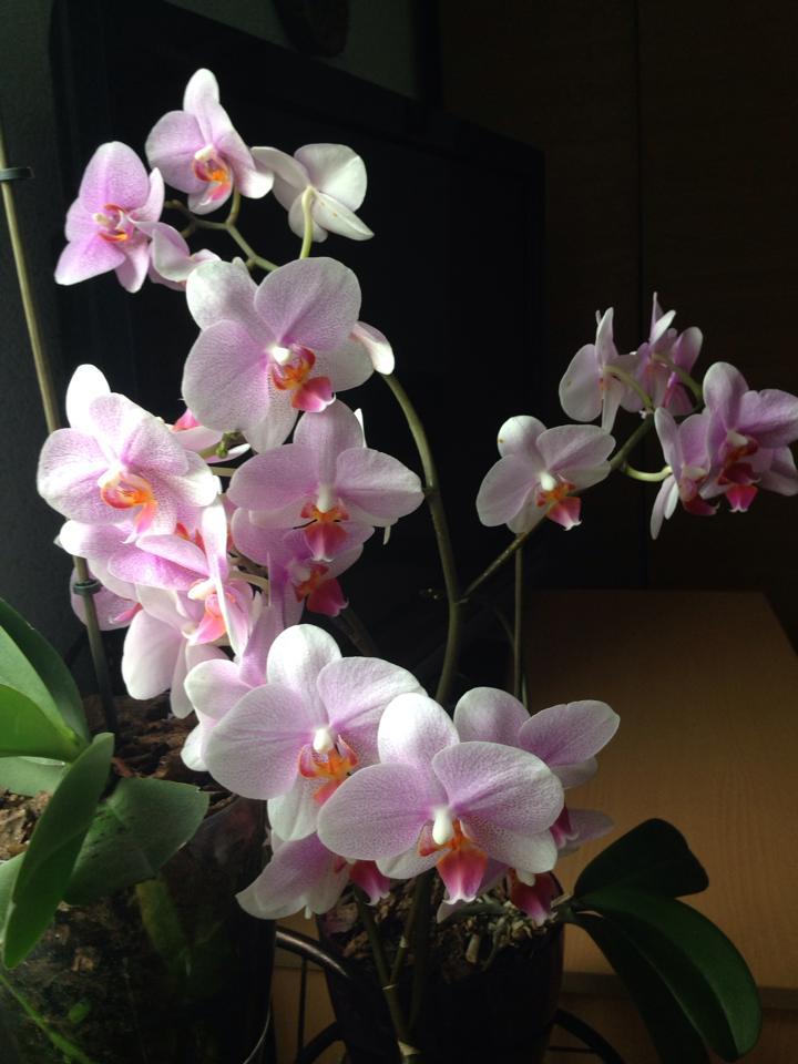 Орхидеите й постоянно цъфтят.