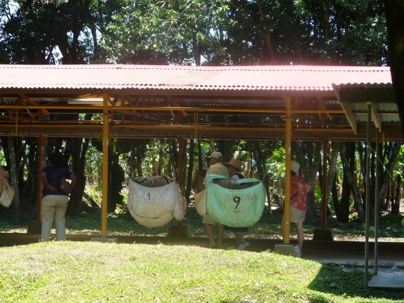 Повитите в найлонови пелени клони пъплят на конвейр в банановата плантация.