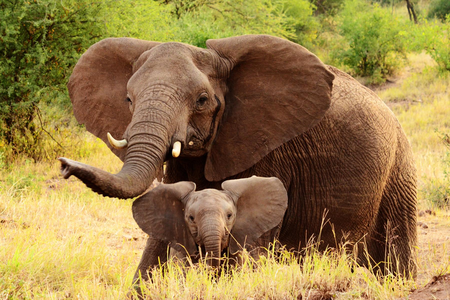 slonovete-imat-babi111
